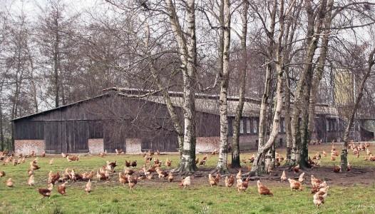 Kippen_met_vrije_uitloop
